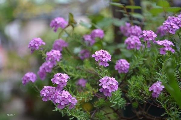 現在開花している植物から…その5