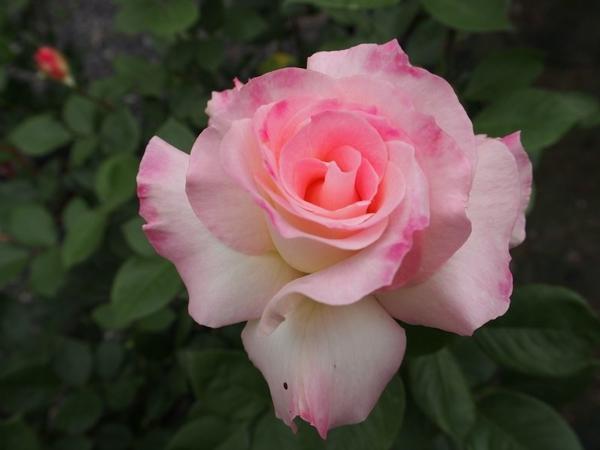 乙女なバラ