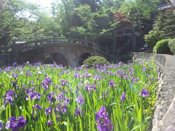 杜若 散歩道の花