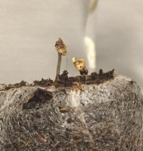 黒いトウガラシの芽