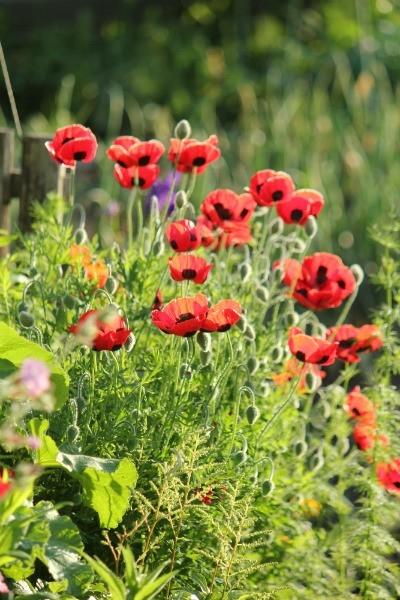 ポピー・レディバードと赤い花