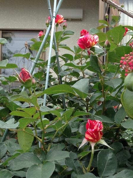 花友さんの薔薇の庭!