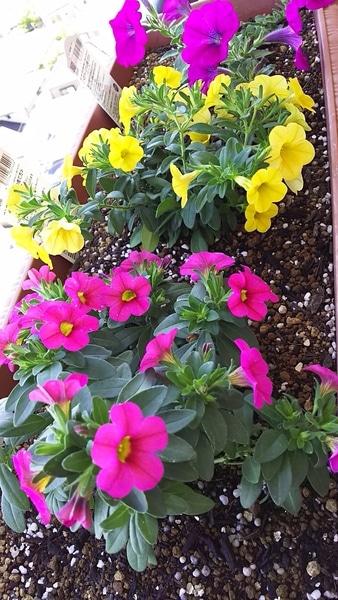 徐々に開花、増えてきました。