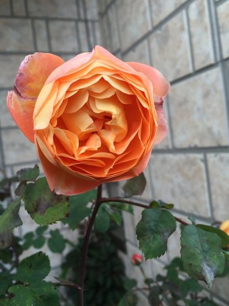 レディエマハミルトンが咲きました(*^^*)