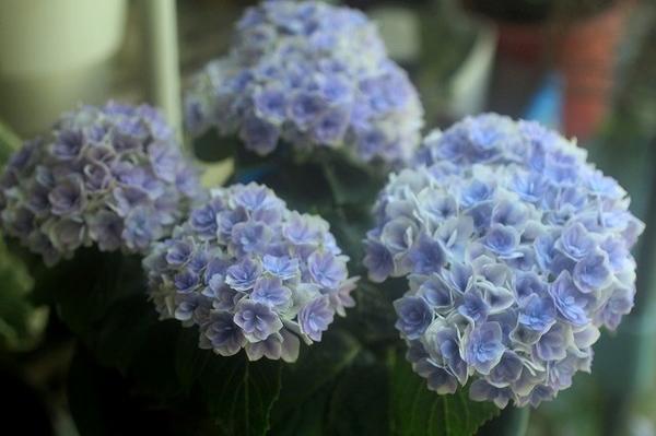 今年のお気に入り紫陽花~*