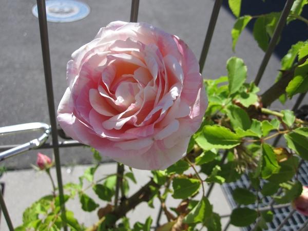 昨日の薔薇(ビェ・ドゥ、アンジェラ)