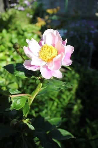 ピンクの花色々