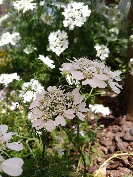大きい白い花