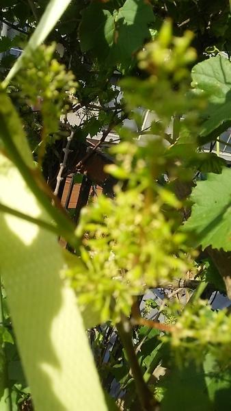 山葡萄の実が付きました。