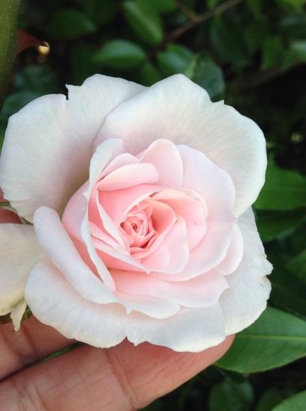 教えてください!    ウドンコの薔薇