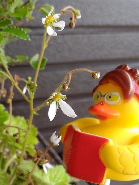 うちのユキちゃんも咲いてました(≧▽≦)