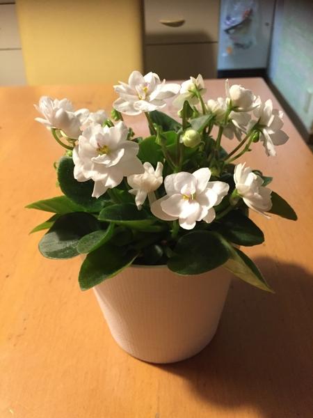 セントポーリアが咲いた