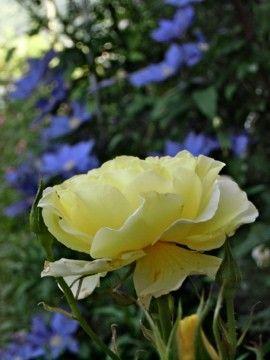 ニゲラが咲きました