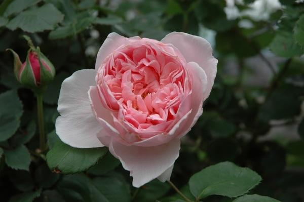 薔薇の今日