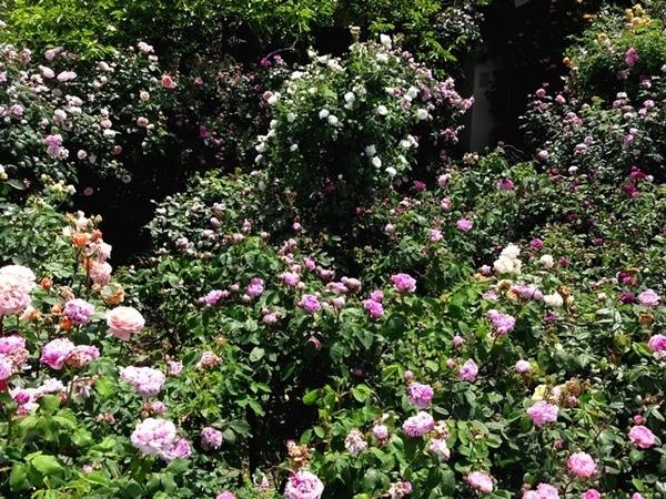 今日のバラの庭③