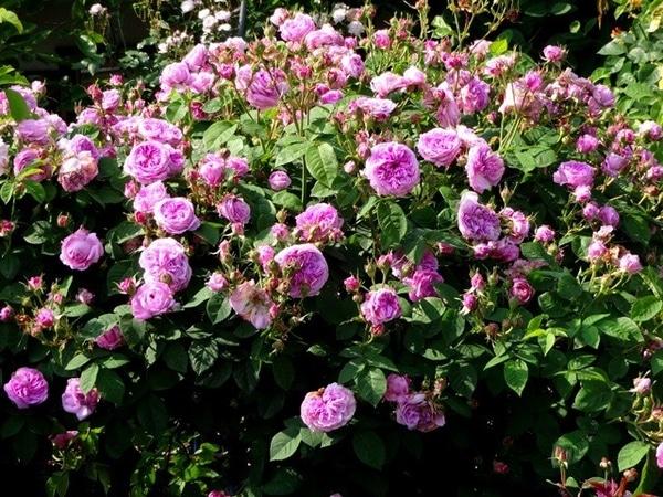 今日のバラの庭⑥