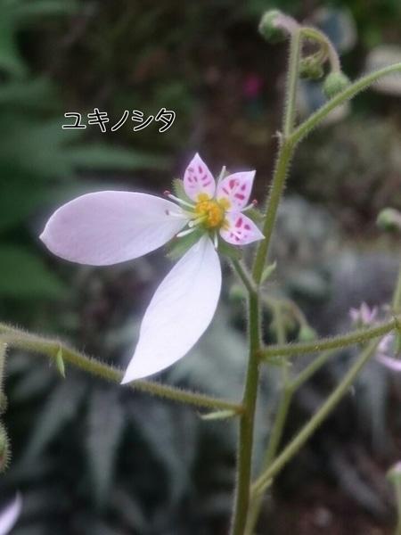 こんな可愛らしい花でしたのね…♪