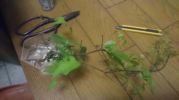 クレマチスの挿し木に挑戦