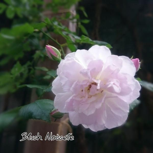 ブラッシュノワゼット、咲きました♪