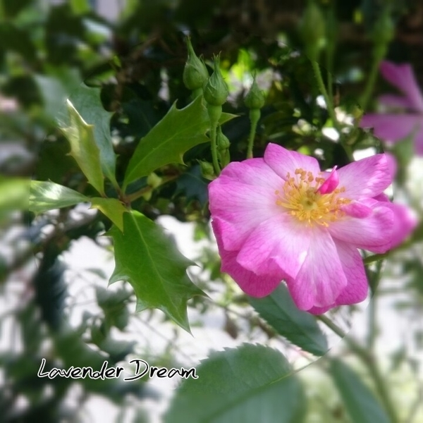 ラベンダードリーム、咲きました♪