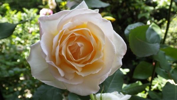 香りのバラ[i:139]
