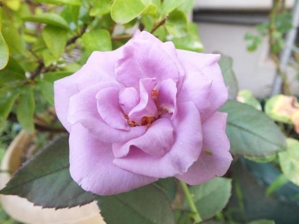 今咲いてるバラ。