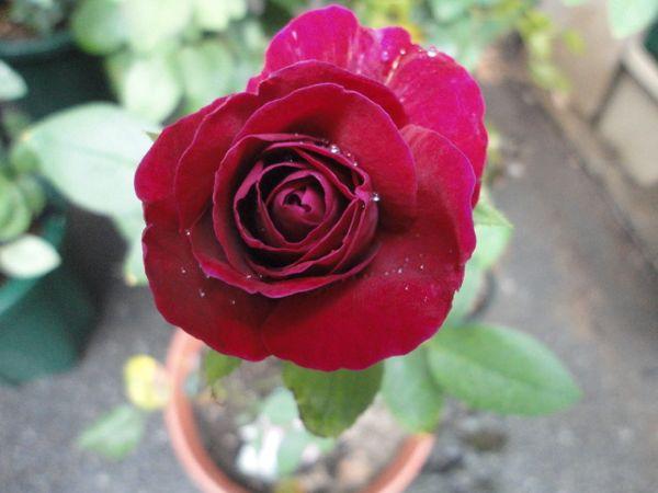 赤系の夏バラ