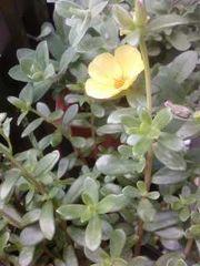 黄色の花たち