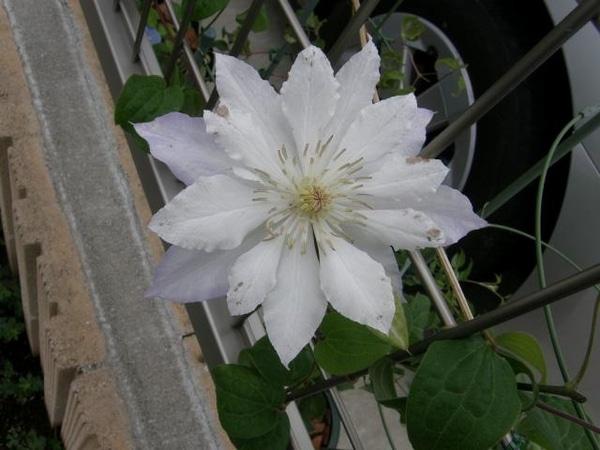 今咲いている2番花