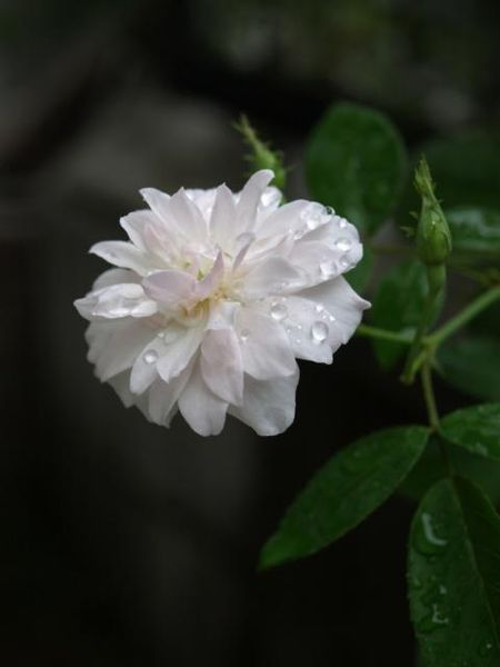 雨の中での初開花