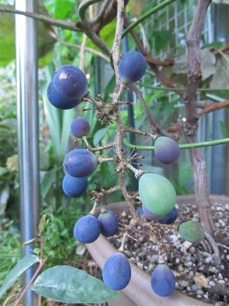 ブドウの初収穫!