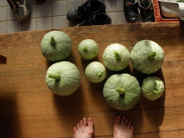 今日はカボチャ・利休の収穫です。(2011/08/05)
