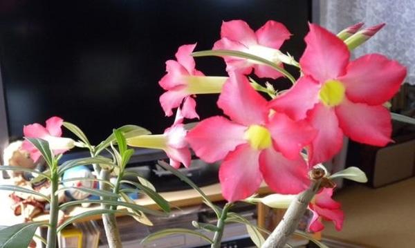 今年も咲いた砂漠のバラ