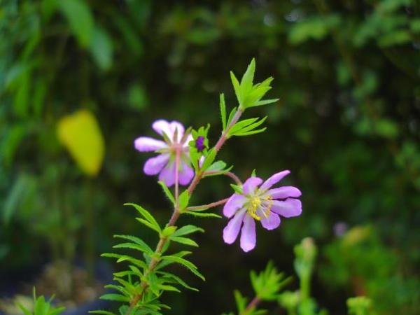 愛のかんざし ミントの花 ミヤコグサ