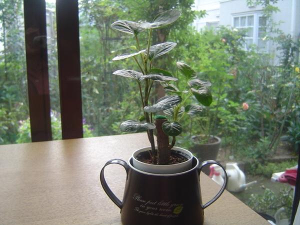 百均の観葉植物