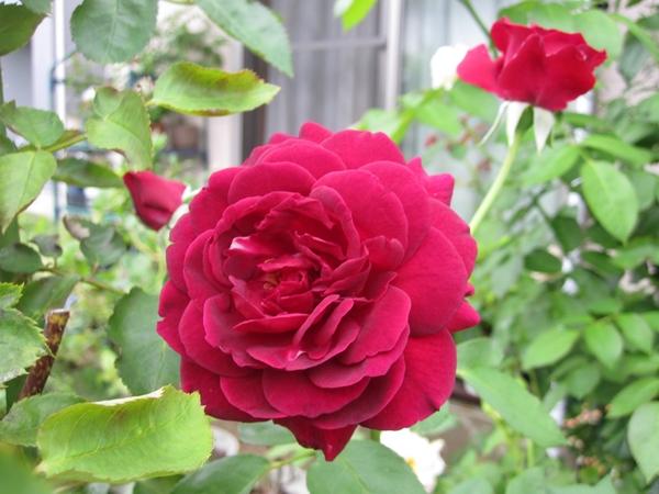 夏の薔薇(真夜・わかな・ブルームーン)