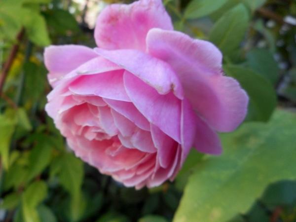 今日のバラ(^^♪①