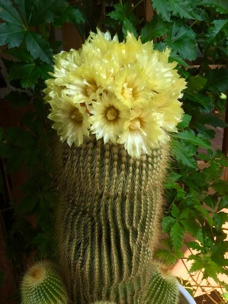金晃丸の開花。