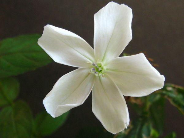 白花のフシグロセンノウ。