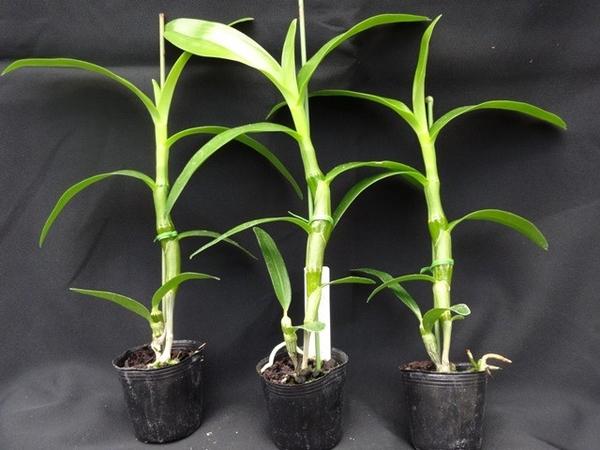 洋蘭苗の生長とナゴラン交配の経過