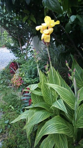 庭に咲くカンナとコリウス