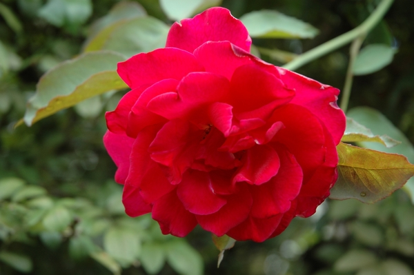 元気なバラ ④