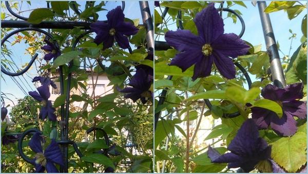 クレマチスの2番花♪