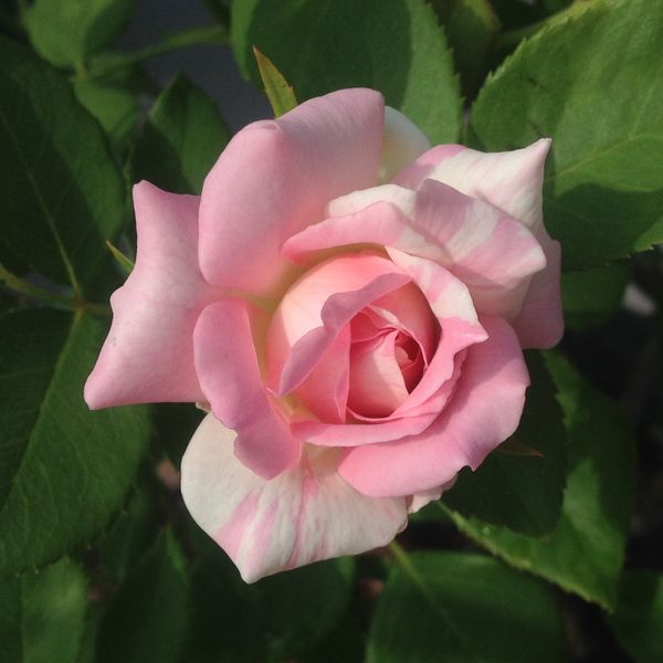 今日元気なバラ…「ミルフィーユ」‼️