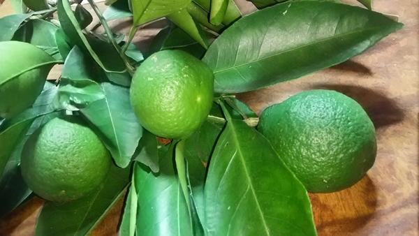 柑橘類の不明の分