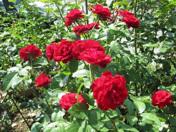 赤薔薇(ラバグルート・ベルサイユの薔薇)とローズ笛吹