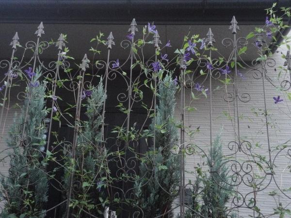 アフロディーテエレガフミナの2番花