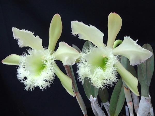 ショウコ、2鉢が仲良く咲いています