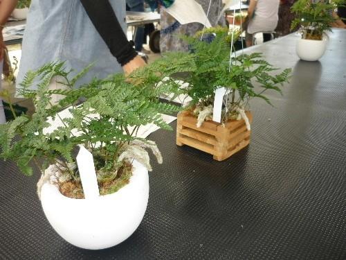 昨日の園芸教室ではトキワシノブを植え込んでおりました。
