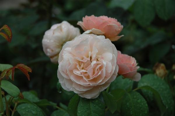 今朝の薔薇 ①